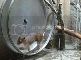 Fossa in a large hamster wheel